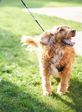 Dog going for walk